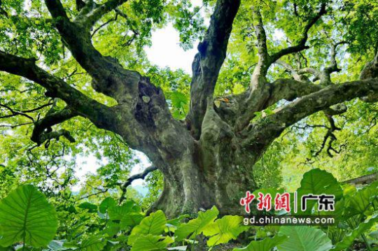 """在广东四会市罗源镇石寨村,这棵""""老寿星""""人面子树在2016年被中国林学会评为""""全国最美树王""""。广东省林业局 供图"""