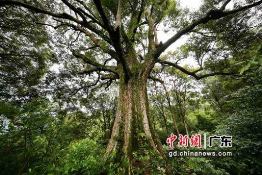 """这棵位于广东肇庆怀集县的红锥,是红锥群中的""""树王"""",估测树龄约500岁。广东省林业局 供图"""